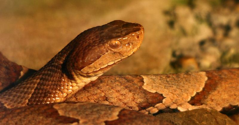 copperhead snake wildlife