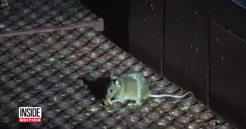 inside edition rodent