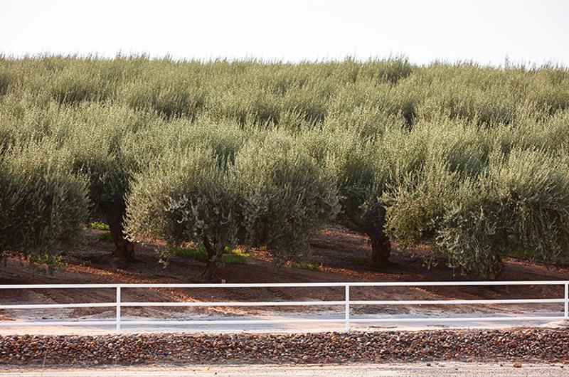 CA Ripe Olives farm