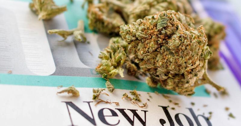 new job marijuana