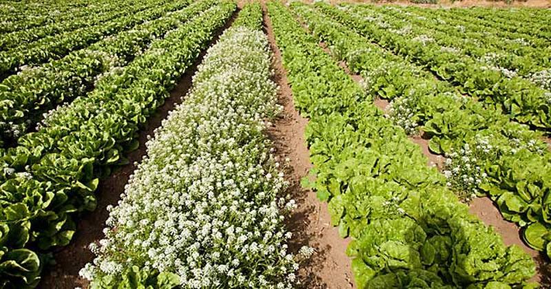 romaine lettuce crops
