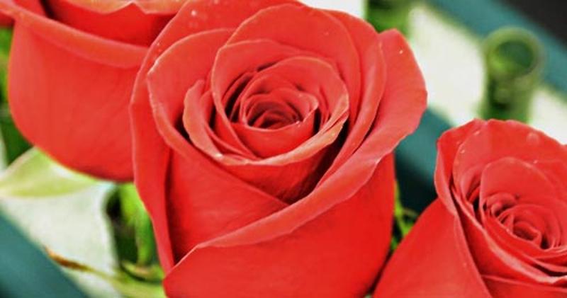 Kroger Roses