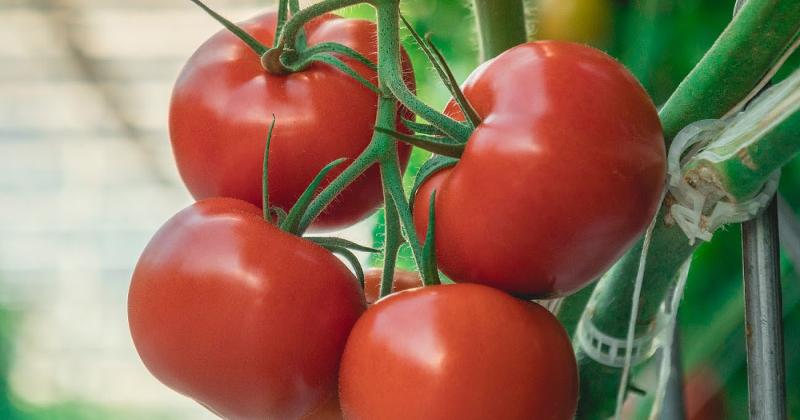 Nature Fresh Farms tomatoes