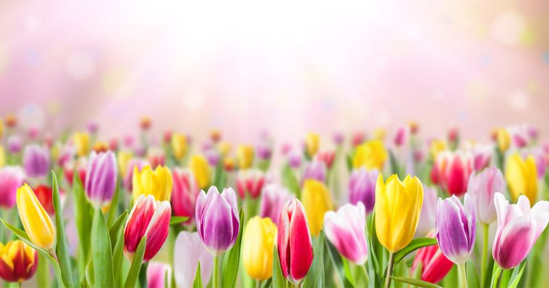 A field of tulips.