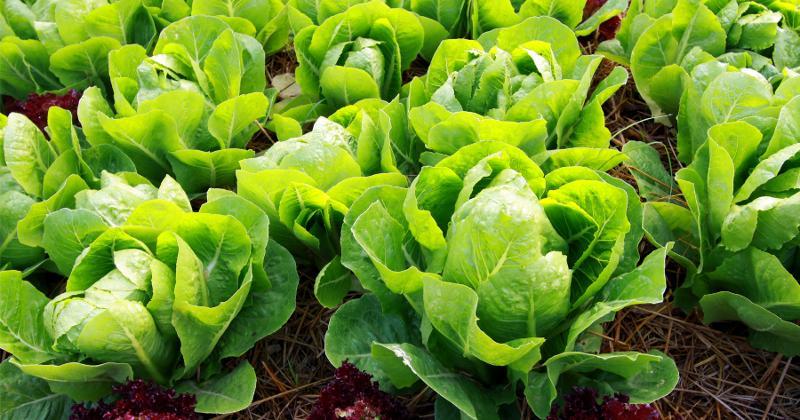 Lettuce growing on a farm.