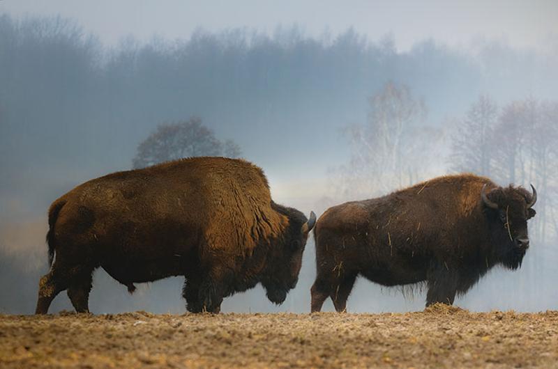 buffalo bison field