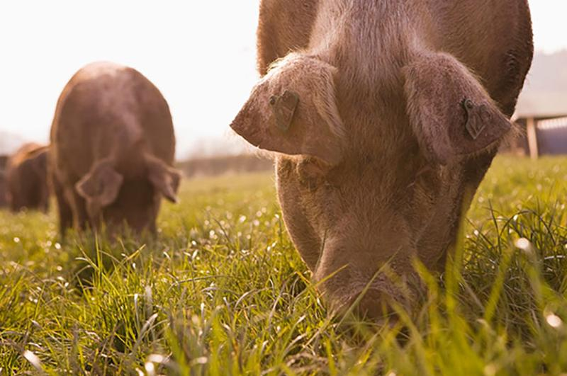 pigs grazing