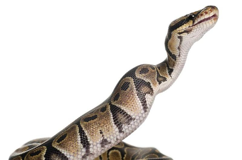 royal python springing