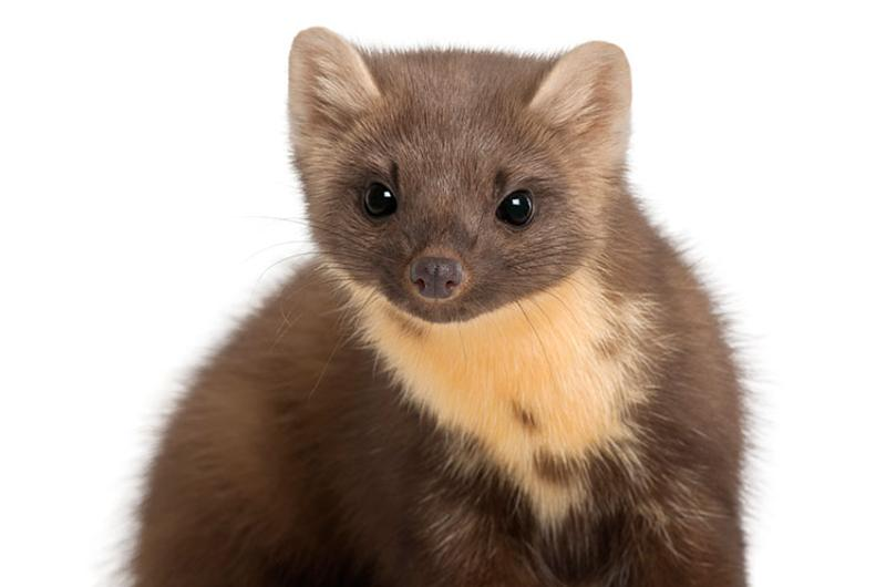 weasel rodent
