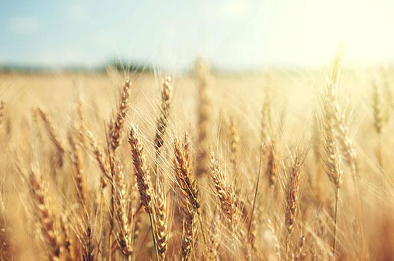 wheat field plant