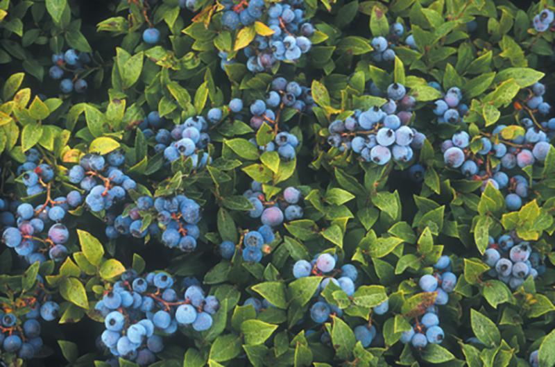 wild blueberries bush