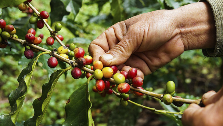 coffee beans tree worker