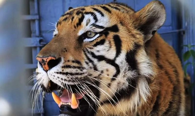 C-store tiger, Tony