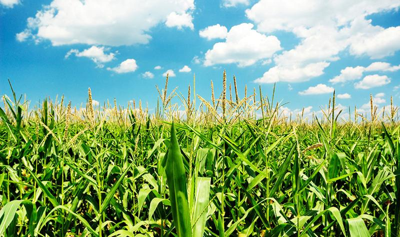 Corn field, renewable energy