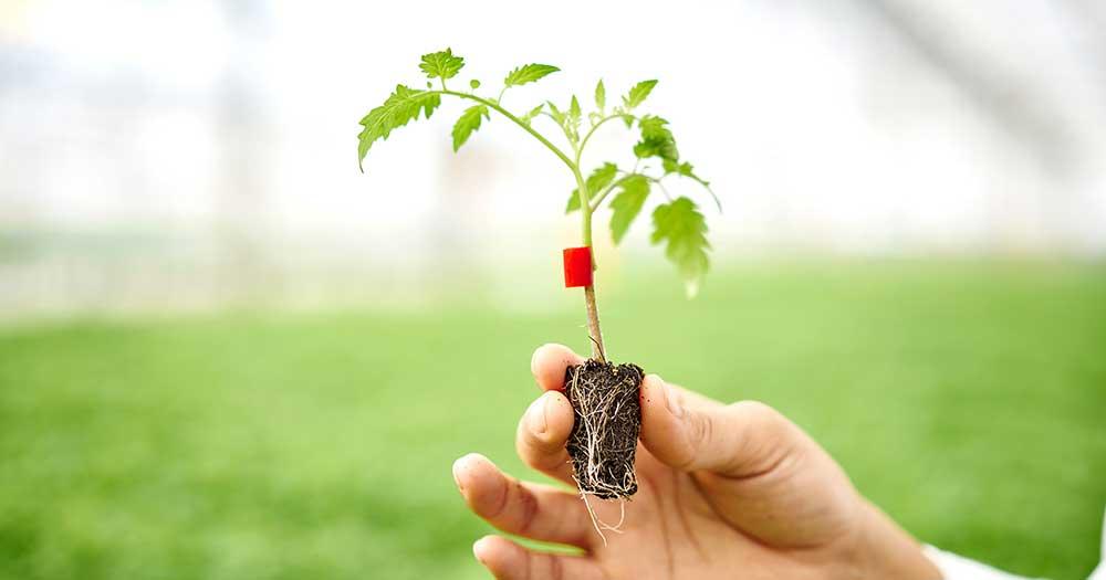 naturesweet plant
