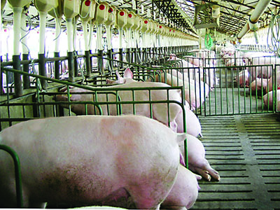 The Public Perceives This As A More Humane Practice He Feels Stalls Are Better For Pigs In Winter But His Sows Adapting Well To Pens